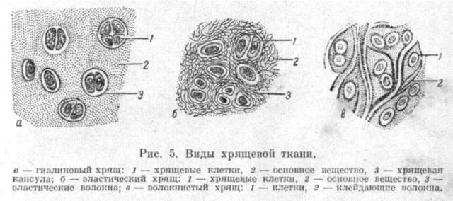 виды хрящевой ткани