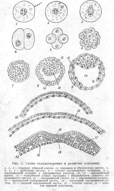схема оплодотворения зародыша