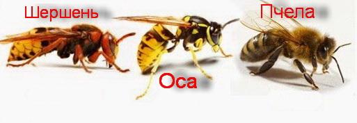 Пчелы, осы, шершни