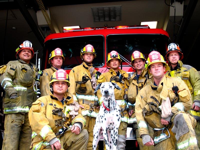 Далматинец пожарная собака