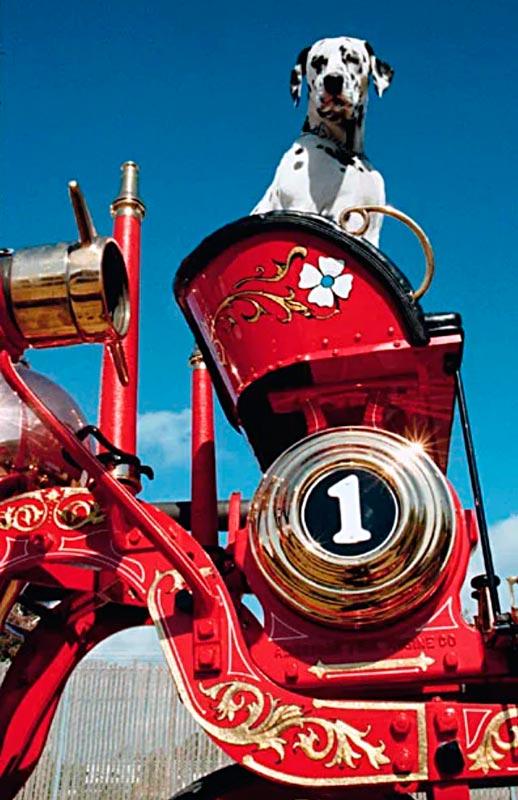 Далматинец - пожарный